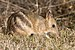 Eastern Barred Bandicoot - Photo (c) JJ Harrison, some rights reserved (CC BY-SA)