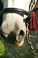 Percherons attelés mondial du cheval percheron 2011Cl J Weber24 (23715640019).jpg