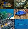 Perciformes collage.jpg