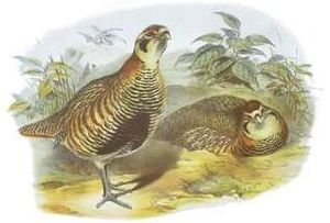 Tibetan partridge - Image: Perdix hodgsoniae John Gould