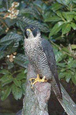 """Сокол-сапсан - самая быстрая птица в мире.  В  """"Книге рекордов Гиннеса """" говорится, что он"""