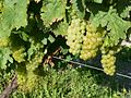 Perignac17 grapes.JPG