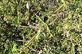 Periploca laevigata subsp. angustifolia (Periploca angustifolia) - Jardín Botánico de Barcelona - Barcelona, Spain - DSC09248.JPG
