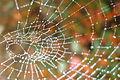 Perles de rosée sur une toile d'araignée 02.JPG