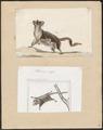 Petaurus pygmaeus - 1700-1880 - Print - Iconographia Zoologica - Special Collections University of Amsterdam - UBA01 IZ20300218.tif
