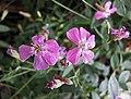 Petrocoptis pyrenaica v glaucifolia -哥本哈根大學植物園 Copenhagen University Botanical Garden- (36598950500).jpg