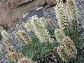 Petrophytum caespitosum -倫敦植物園 Kew Gardens, London- (9227007375).jpg
