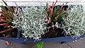 Pflanzen und Blumen V-02.jpg