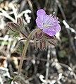 Phacelia vallis-mortae 1.jpg
