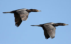 Phalacrocorax brasilianus -Argentina -two flying-8.jpg