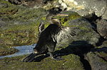 Phalacrocorax harrisi.JPG