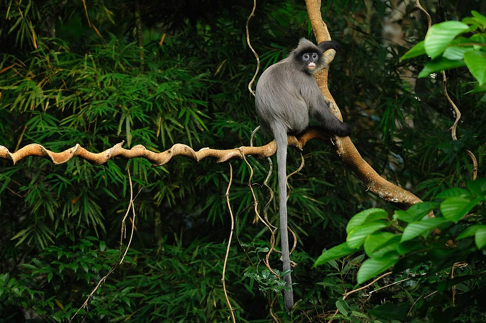The average litter size of a Phayre's leaf monkey is 1