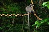 Phayre's Langur, Trachypithecus phayrei in Phu Khieo Wildlife Sanctuary (21134240148).jpg
