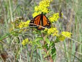 Photo of the Week - Monarch butterfly on goldenrod (RI) (6235372152).jpg