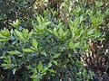 Phyllocladus aspleniifolius leaves.jpg