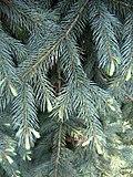 Picea engelmannii 02.jpg