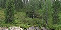 Picea obovata Shekuria River.jpg