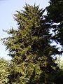 Picea orientalis 2.jpg