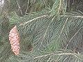 Picea smithiana Brno2.JPG