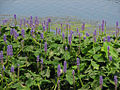 Pickerelweed, Rideau River.jpg