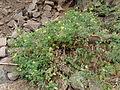 Pico da Antonia-Tomates et haricots.JPG