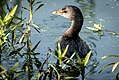 Pied-billed Grebe (21421420763).jpg