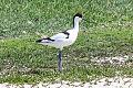 Pied Avocet (Recurvirostra avosetta) - Jon Knight.jpg