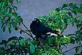 Pied Currawong (Strepera graculina) (10086502966).jpg