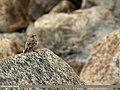 Pied Wheatear (Oenanthe pleschanka) (15709605210).jpg