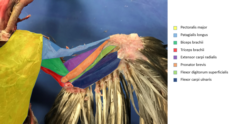 Pigeon wing musculature, ventral