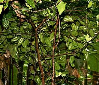 Myrtaceae - Pimenta dioica