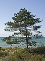 Pine in the Pinery Provincial Park.jpg