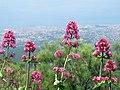 Pink Wildflowers (15825781542).jpg