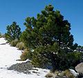 Pinus hartwegii Cofre de Perote.jpg