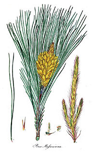<i>Pinus massoniana</i> Species of conifer