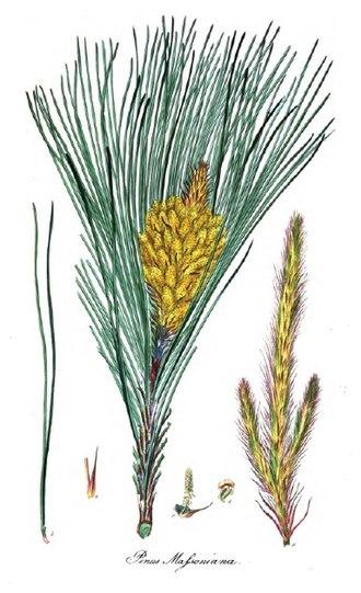 Pinus massoniana - Image: Pinus massoniana 1