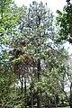 PinuspseudotrobusUNAM.JPG