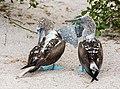 Piquero patiazul (Sula nebouxii), isla Lobos, islas Galápagos, Ecuador, 2015-07-25, DD 35.JPG