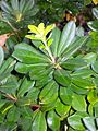 Pittosporum erioloma foliage.jpg