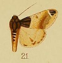 Pl.41-fig.21-Epilepia melanobasis (Hampson, 1906 (Macalla).JPG