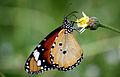 Plain Tiger (Danaus Chrysippus).JPG