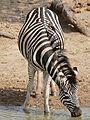 Plains Zebra (Equus quagga burchellii) drinking ... (32142209136).jpg