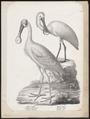 Platalea leucorodia - 1809-1845 - Print - Iconographia Zoologica - Special Collections University of Amsterdam - UBA01 IZ17600075.tif