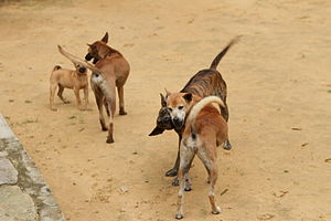 Playing Phu Quoc Ridgebacks.jpg