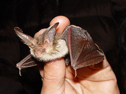 Oreillard commun (Plecotus auritus)