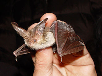 Mother Ludlam's Cave - Long-eared Bat