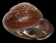 Pleurodonte nigrescens shell.png