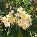 Plumeria flower blooms in BOTI FALLS.jpg