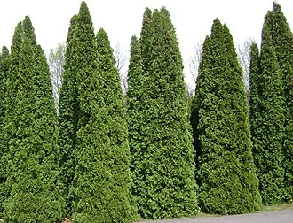 Thuja occidentalis - A grove of a columnar ornamental variety in Powsin Botanical Garden, Warsaw, Poland