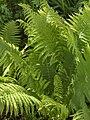 Polypodiales terrestrial unID 01.jpg